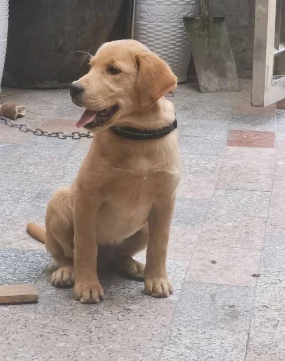 原创 这只狗长得还挺新鲜,土狗的身子金毛的头,网友:串串