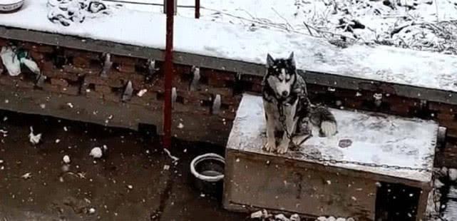 原创 天空突降大雪,二哈被冻醒坐在狗窝上,满脸愤恨跟铲屎官抗议
