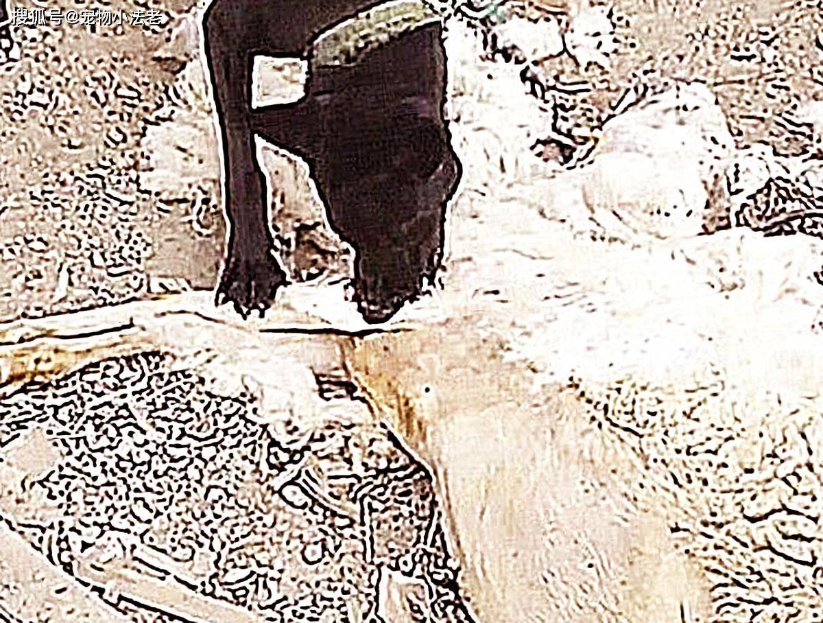 原创 男子暂且有事,让狗狗看守羊圈,当他回来时,差点被气晕!