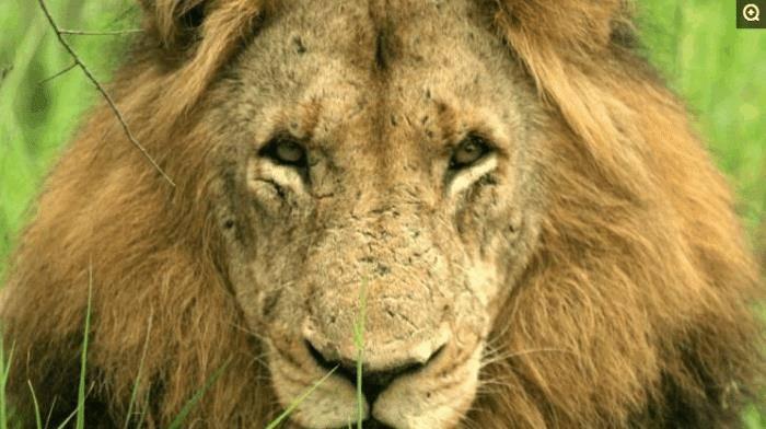 """原创 非洲的""""坏男孩同盟"""", 6只雄狮横扫草原, 1年屠杀上百只狮子"""