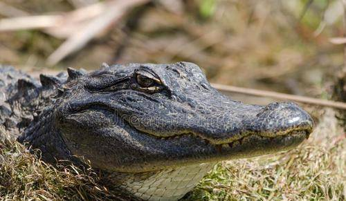 原创 天下鳄鱼大清点,并不是所有鳄鱼都很恐怖,也有萌萌哒