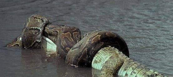 世界上最大的蛇是什么蛇,你们根本就没见过,鳄鱼都怕它,