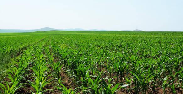 出苗又齐又好,土地增产,农民增收——  种植户恋上绿色肥料
