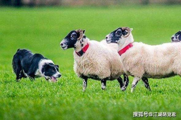 狗狗智商排行榜:最聪明的3种狗和最笨的3种狗,有你家的吗?