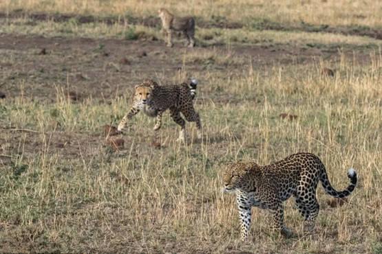 原创 花豹和猎豹生死搏杀,猎豹因近身搏击棋差一招,最后惨被一招绝杀