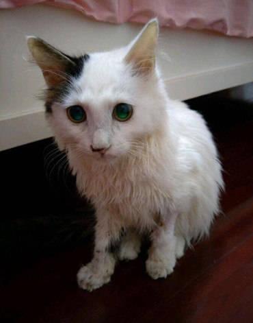 原创 猫咪被主人毒打大出血,美意女孩毅然收养,身体恢复后颜值爆表