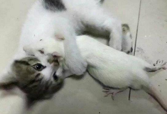 原创 本想用小白鼠当实验品,没想到却被猫咪牢牢护住,缘故原由让主人动容