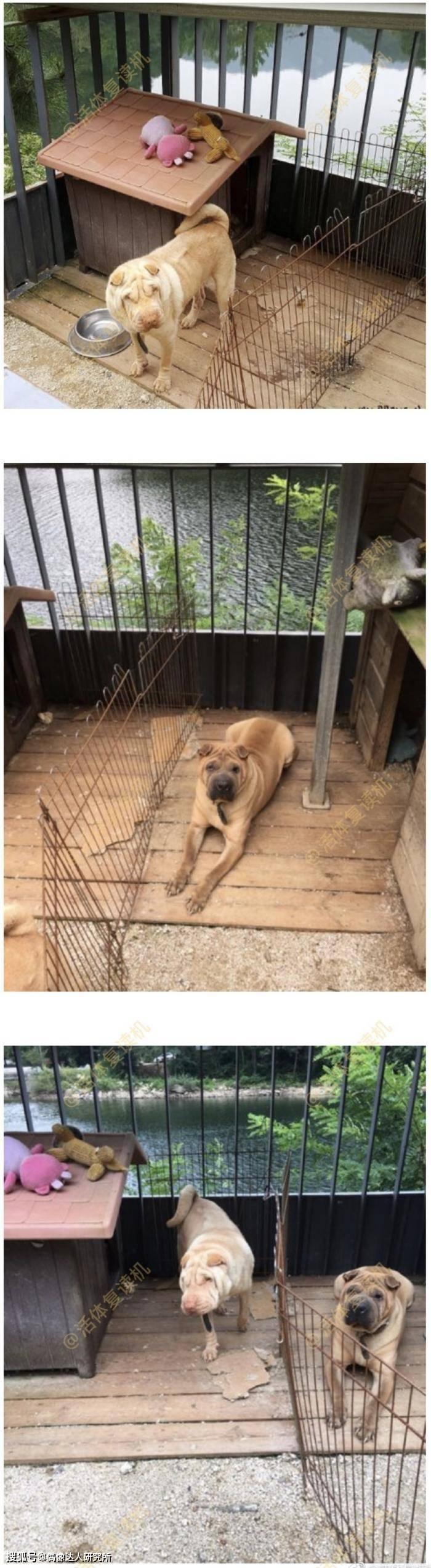 网友 GD被控诉弃养家中两只沙皮犬!网友:真差劲糟糕!有钱还不请人看!