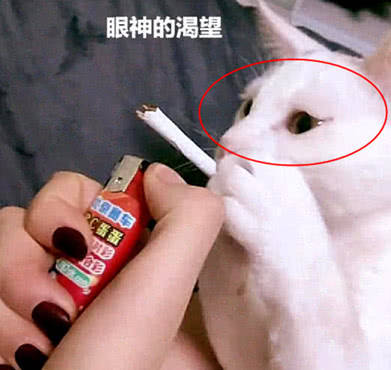 原创 主人指使自家的猫咪吸烟,看到一系列的动作,让人说不出的难受