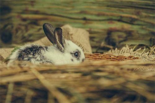 兔子吃什么化毛