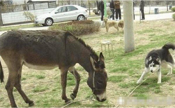 二哈被带回乡下,出门时偶遇毛驴,紧接着的举动吓得主人直冒汗