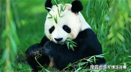 老虎为何宁可挨饿也不敢动大熊猫?你看它另外一个名字,就明白了