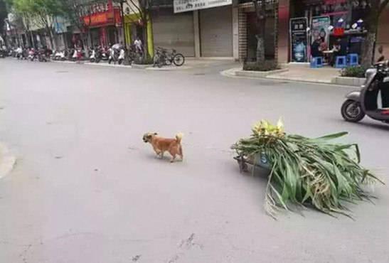 原创 狗狗为了帮主人拉菜去卖,数十年入一日,年迈体力不支还在继续