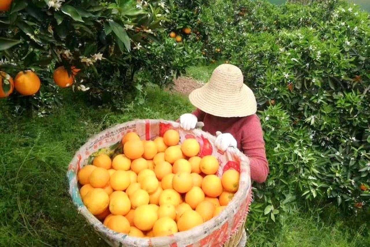武汉工程科技学院,老师自发组团采购,学生家里滞销脐橙