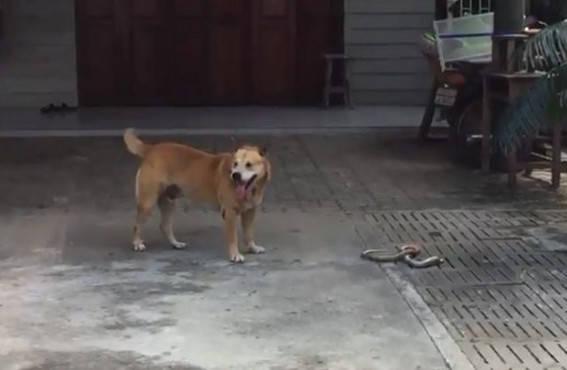 原创 狗狗突然疯狂大叫,主人赶快跑去查看,看清后瞬间被吓的打冷噤