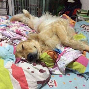 原创 主人下班准备休息,却在床上看到金毛身影,这个睡姿也太露骨了