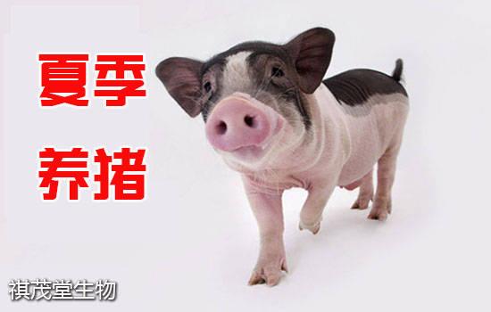 夏天怎么养猪好?喂猪是湿的还是干的?
