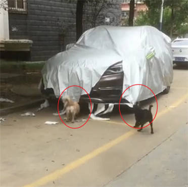 原创 两只狗狗疯狂拆车罩,主人见后气得痛骂,狗狗一转头差点被气哭