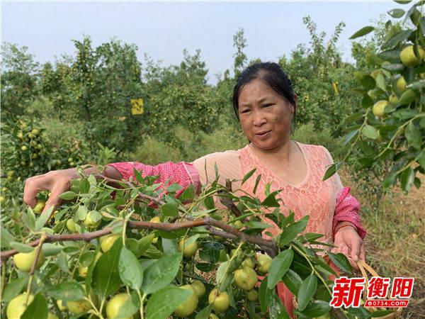【公益助农】衡阳市石鼓区万佳生态家庭农场里的鲜枣熟啦!