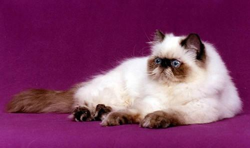 【养宠经验】喜马拉雅猫圆脸的话,有什么方法