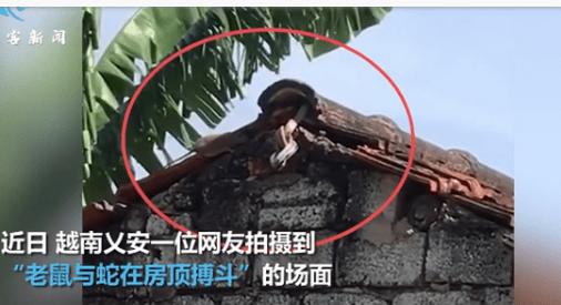 母爱的力量!老鼠为救孩子与蛇在房顶搏斗,飞身扑咬让蛇落荒而逃