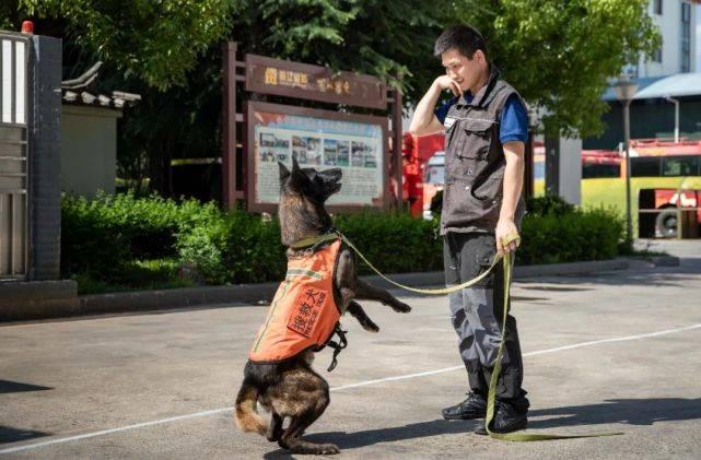 李家陵|它们同样在灾难中拯救生命揭秘丽江消防搜救犬!与消防员一样