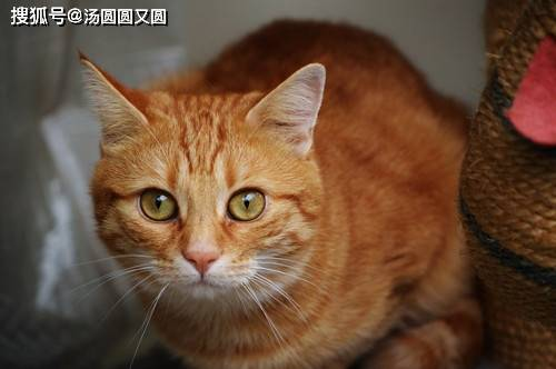 【養寵經驗】橘貓解決口炎的方法一般有哪些
