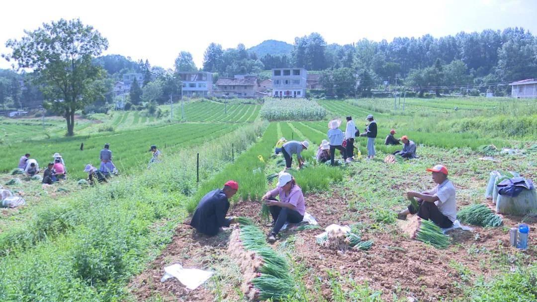威宁县羊街镇蛇街村130亩红葱喜获丰收,亩产3000斤