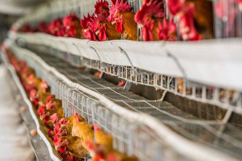 工业风机在养鸡场通风中的应用