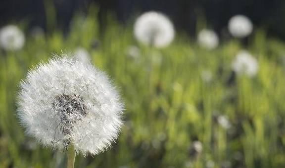 """蒲公英是春天的""""解毒杂草""""。中医教你"""
