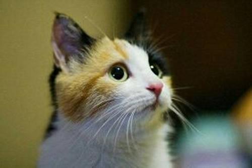 【养宠经验】三花猫吃饭越来越少怎么回事,会不会被饿死?