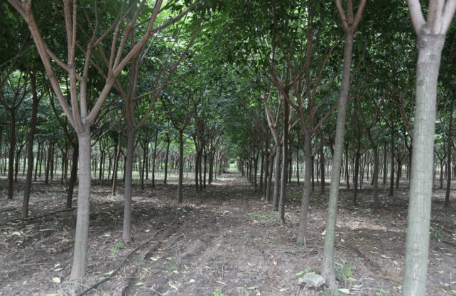 榉树(Zelkova schneideriana)是近年来的乡土树种 它的起源是什么?