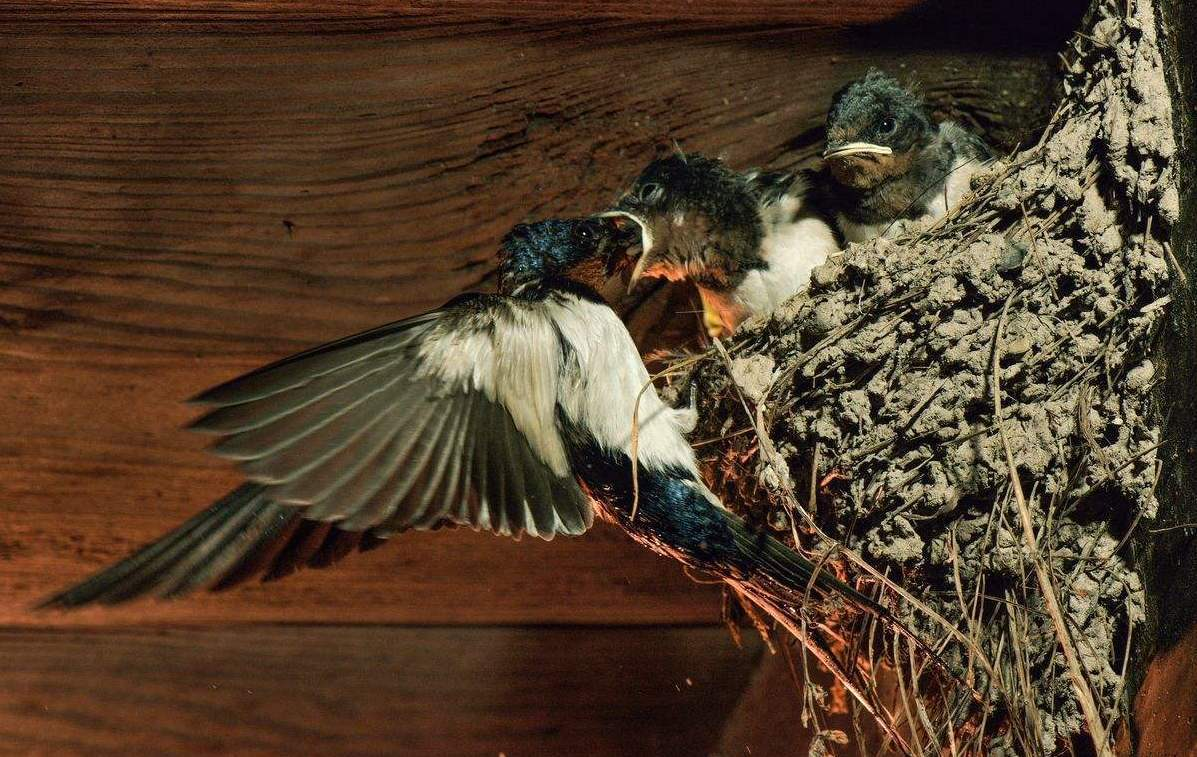 <b>燕子不回家筑巢 真的穷到不爱富人吗?原来这些点都没有做到</b>