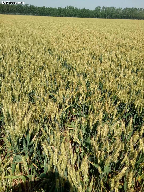 体彩中心手机网:2020年山东省青岛市秋季小麦种植技术意见