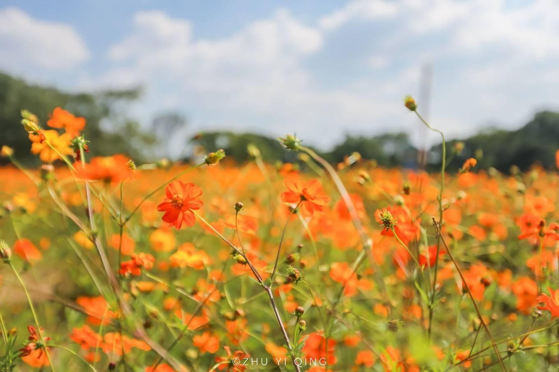 原创             无锡梅园不只能赏梅,初秋近万亩百合花海盛放,小姐姐直呼太美了