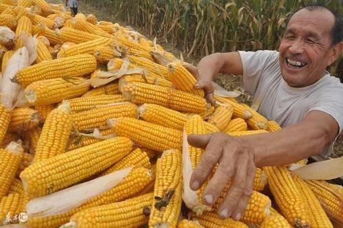 玉米价格每吨暴涨千元,背后发生了什么?