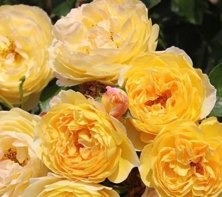 8款好闻好养的月季花,香气浓郁,开花满屋香