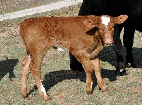 小牛浓缩补充剂有什么作用