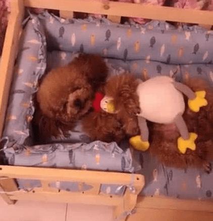 泰迪抱着玩具鸡睡觉,主人趁它入睡想要拿走,狗狗一睁眼就要咬人