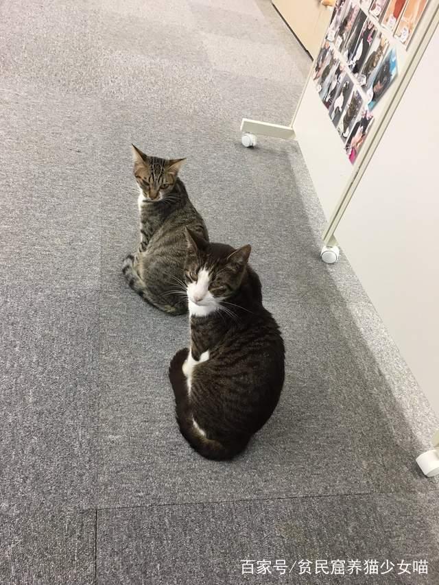 同步猫,猫咪动作相似率高达99%,在一起久了连姿势都变一样了
