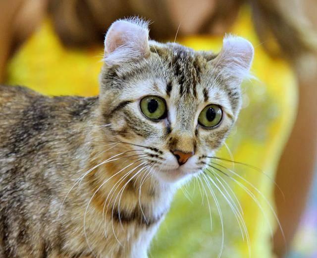美国卷耳猫有什么缺陷图片