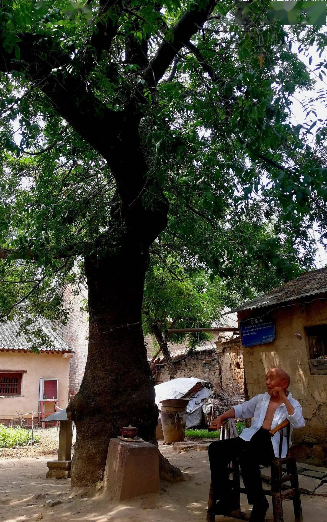 百   岁老人王金榜在500年树龄的皂角树下乘凉 牛超 图   皂角树下,一位白衣黑裤的老人正坐在椅子上乘凉.