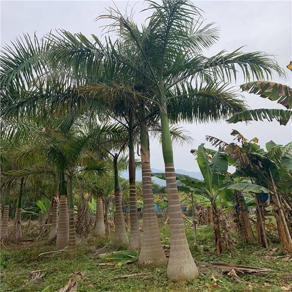 仿真大王椰子树_大王棕与椰子树的区别_大王椰子的椰子