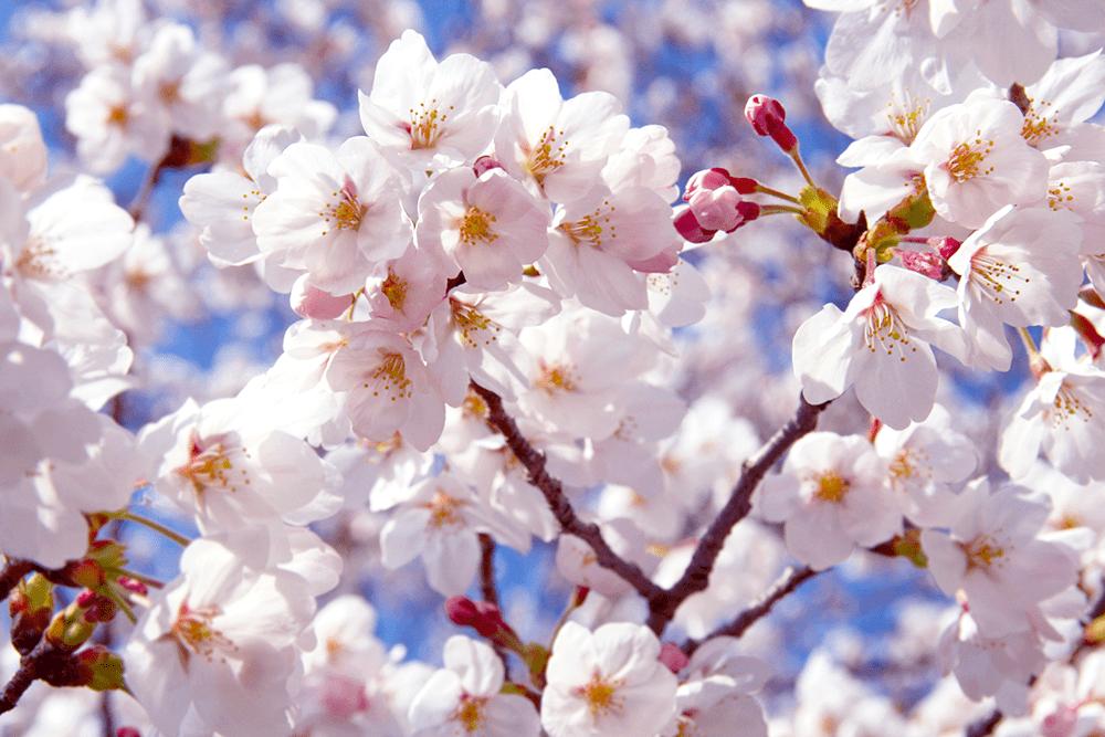 风靡日本的樱花点心,你喜欢哪一种?
