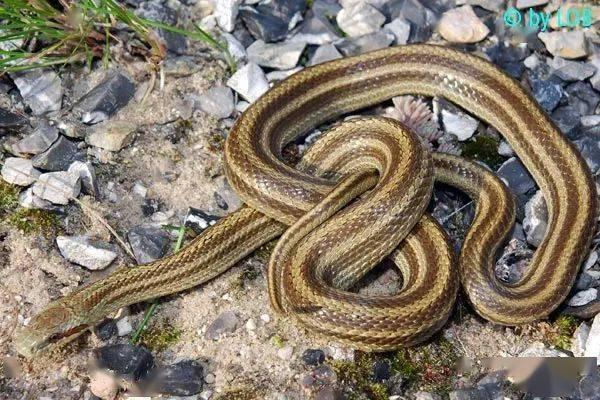 【从零开始养】白条锦蛇基础饲养指南 (图2)