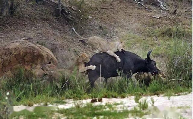 落单野牛被狮群攻击,在丧命的那一刻野牛的显示亮了!