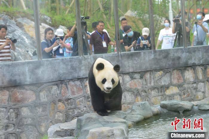 湖南规模最大熊猫主题乐园开园 8只大熊猫与公众见面