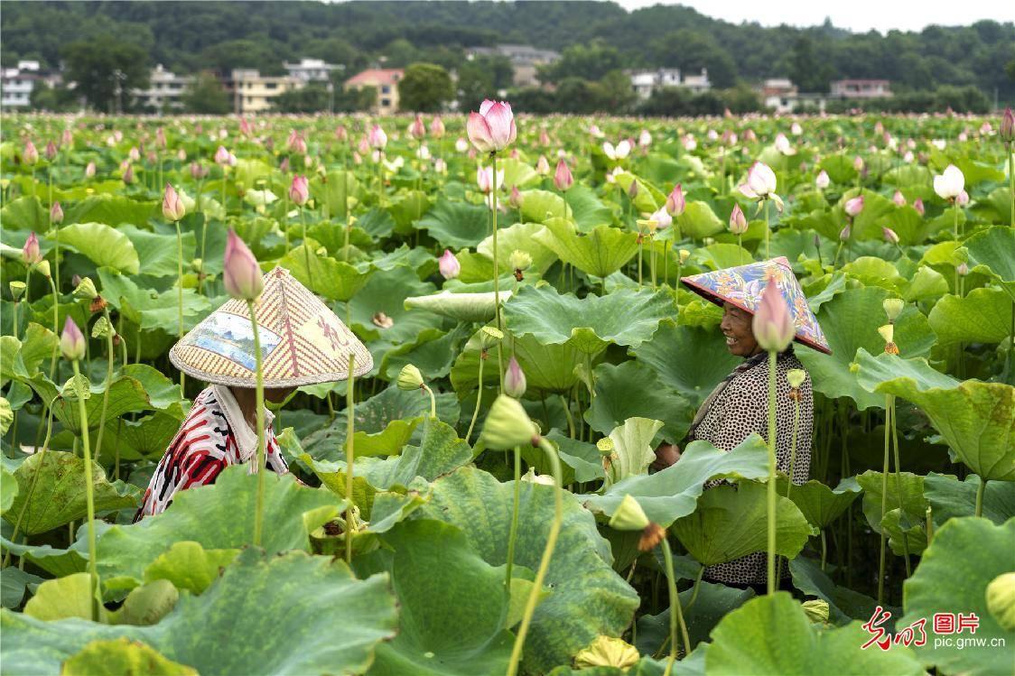 江西新余:荷花产业助脱贫