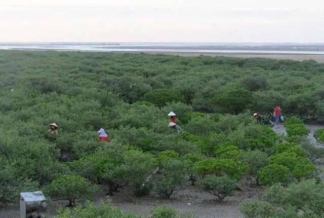 禁止过度采摘榄钱,保护红树林  维护湿地生物多样性