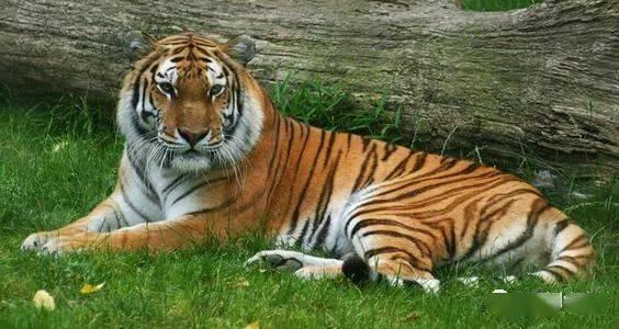 为什么许多狗都怕老虎,那么藏獒畏惧吗?